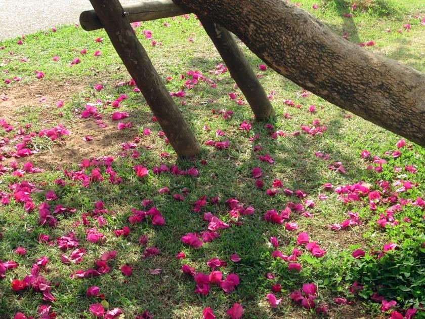 Fotografando -árvores com flores  -pétalas no chão-Blog Dikas e diy